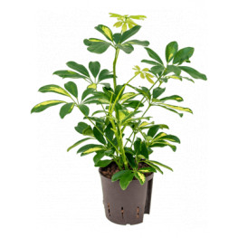 Schefflera arboricola Gold Capella 2pp 13/12 v.40 cm