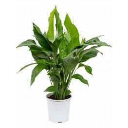 Spathiphyllum sweet lauretta Bush pots. 24cm v. 90 cm