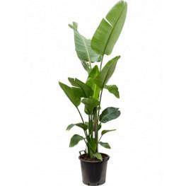 Strelitzia nicolai 40x145 cm