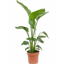 Strelitzia nicolai 21x110 cm