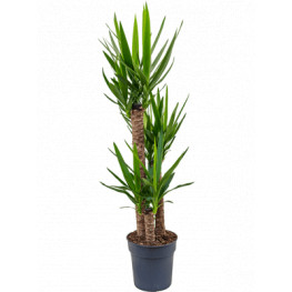 Yucca elephantipes 90-60-30 27x130 cm