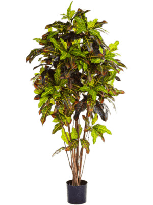 Croton excellent