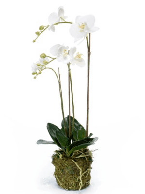 Phalaenopsis - orchidea