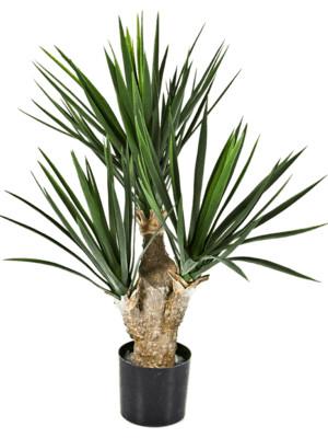 Yucca 1