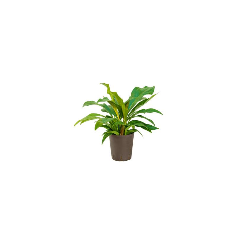 Anthurium elipticum Jungle hybriden18/19 výška 50 cm