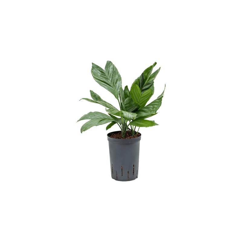 Chamaedorea metallica 15/19 v.45 cm