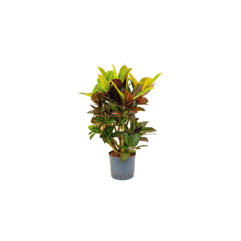 Croton (codiaeum) petra Branched (70-85) 22/19 v100 cm