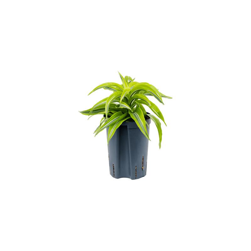 Dracaena lemon surprise 13/12 v.25 cm