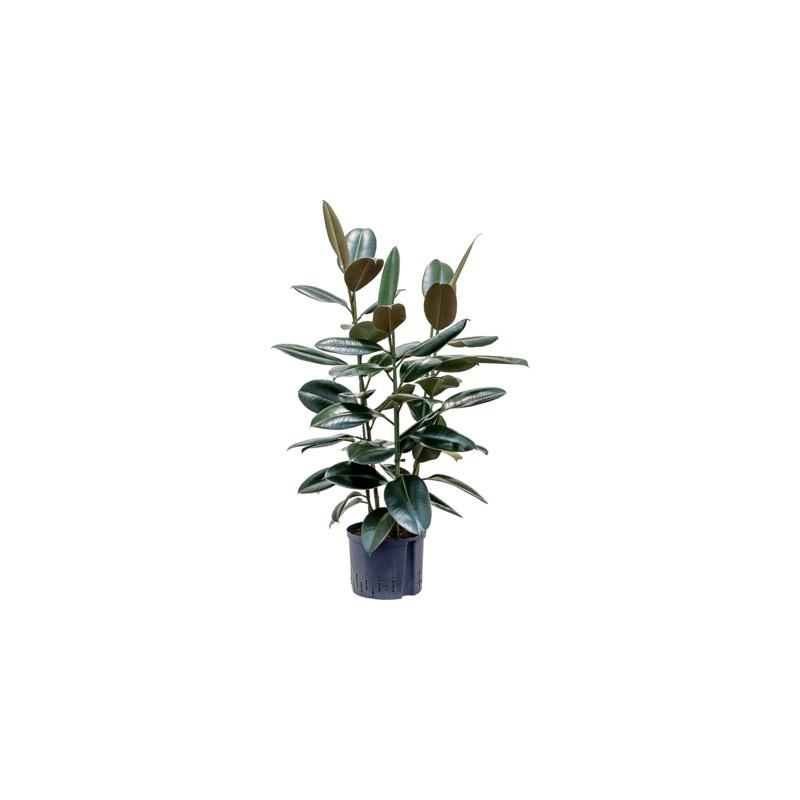 Ficus elastica abidjan 3pp 25/19 v.125 cm
