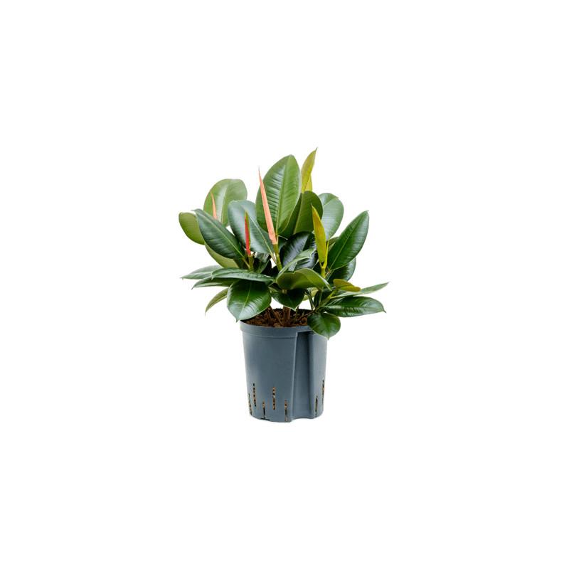 Ficus elastica Robusta 18/19 výška 45 cm