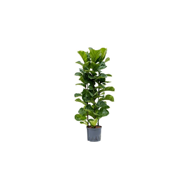 Ficus lyrata bambino 3pp 22/19 v.110 cm