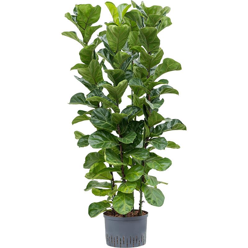 Ficus lyrata bambino 28/19 v.130 cm