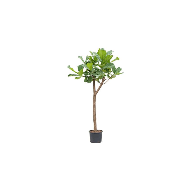 Ficus lyrata Stem 25/19 v.140 cm