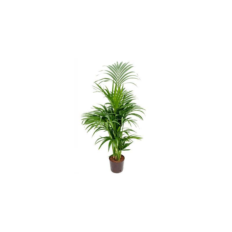 Kentia (howea) forsteriana Tuft 8pp 22/19 výška 120 cm