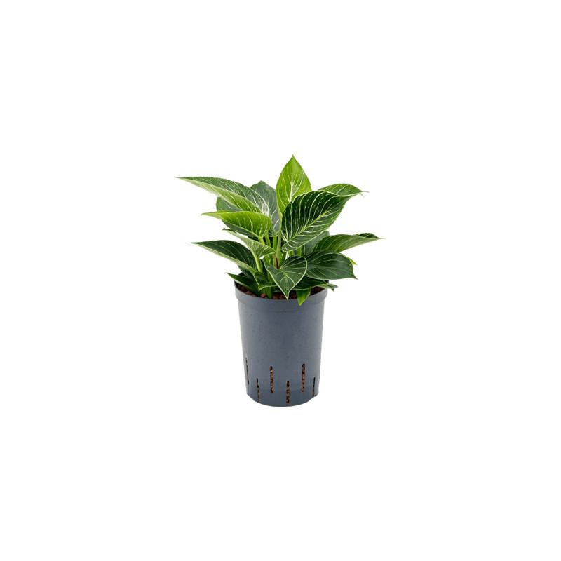Philodendron White Wave 15/19 výška 40 cm