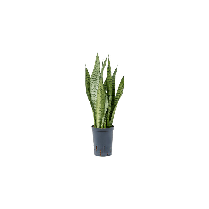 Sansevieria zeylanica 15/19 výška 70 cm