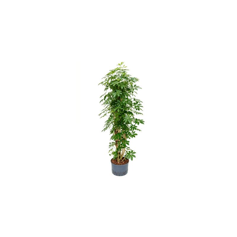 Schefflera arboricola Column Pots. 28/19 cm výška 160 cm