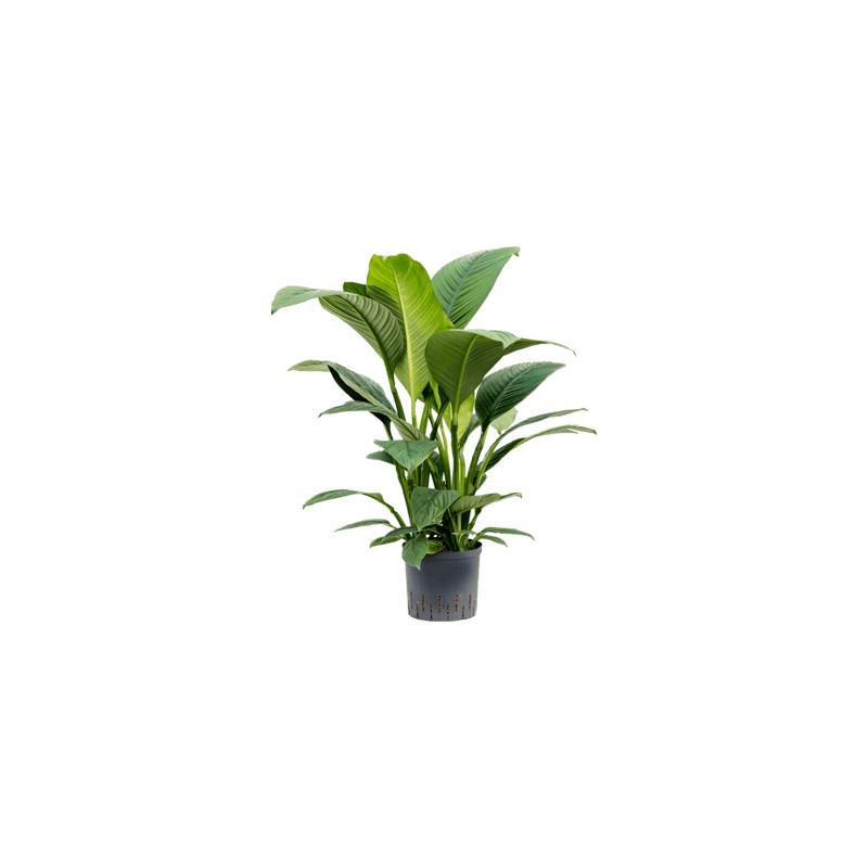 Spathiphyllum sensation 3pp 22/19 v90