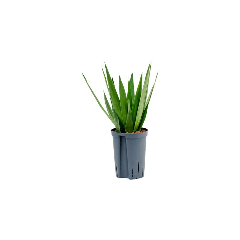 Yucca head 15/19 výška 40 cm