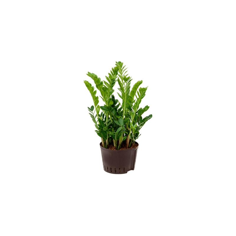 Zamioculcas zamiifolia 22/19 v65