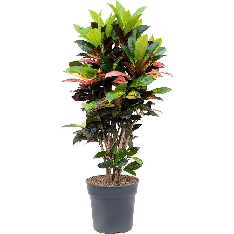 Croton (codiaeum) iceton 29x100 cm