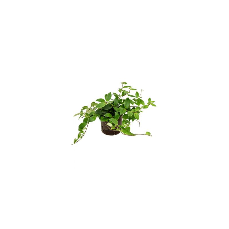 Aeschynanthus lobbianus hanger 13/12 v.20 cm