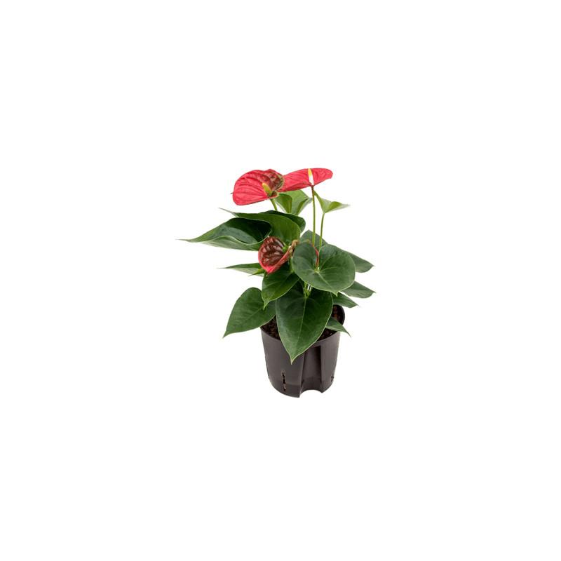 Anthurium andreanum sierra red 13/12 výška 35 cm