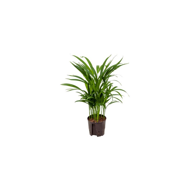 Areca (chrysalido.) lutens 13/12 cm v. 45 cm
