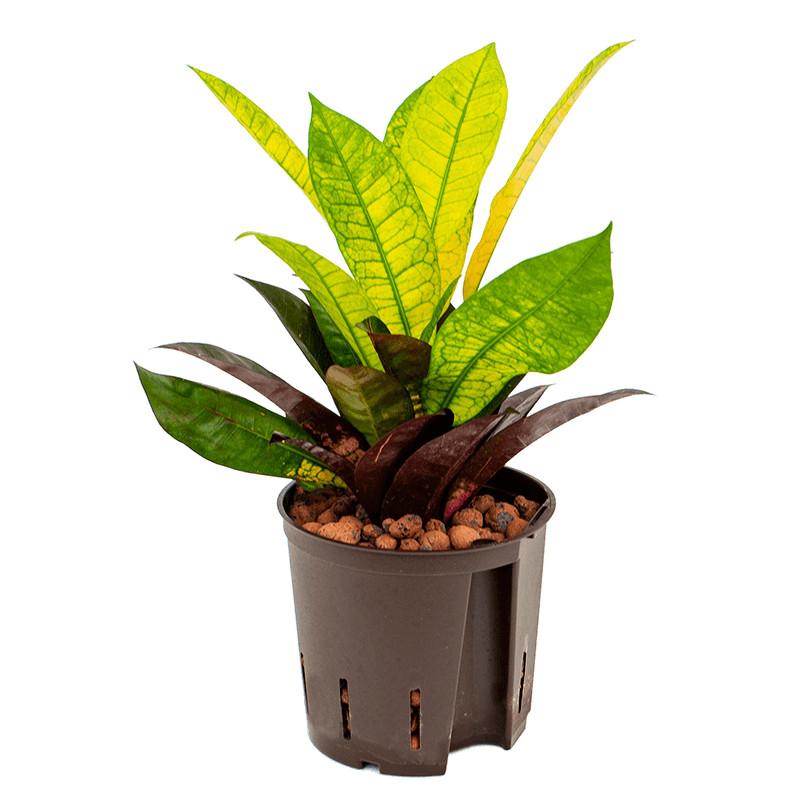 Croton Codiaeum variegatum Mrs. Iceton 13/12 výška 35 cm