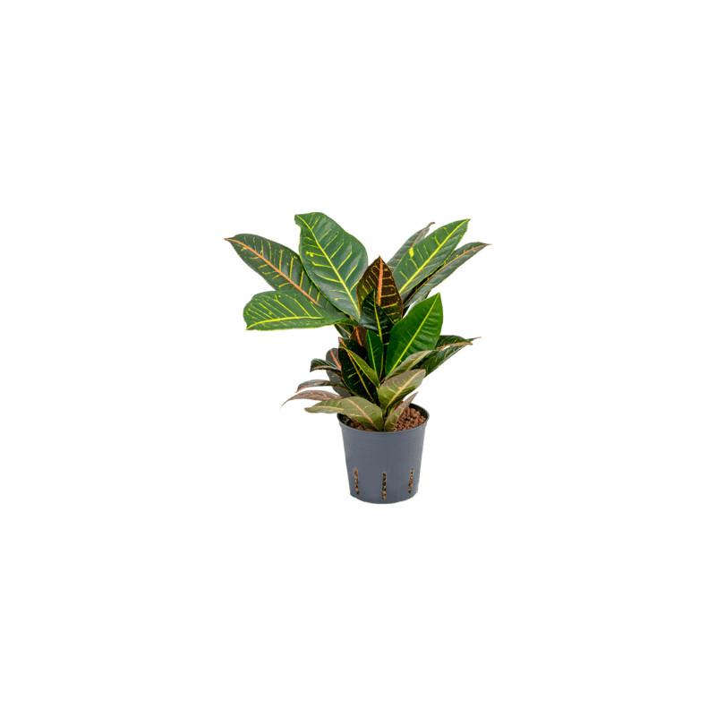 Croton (codiaeum) petra 2 pp 13/12 v.30 cm
