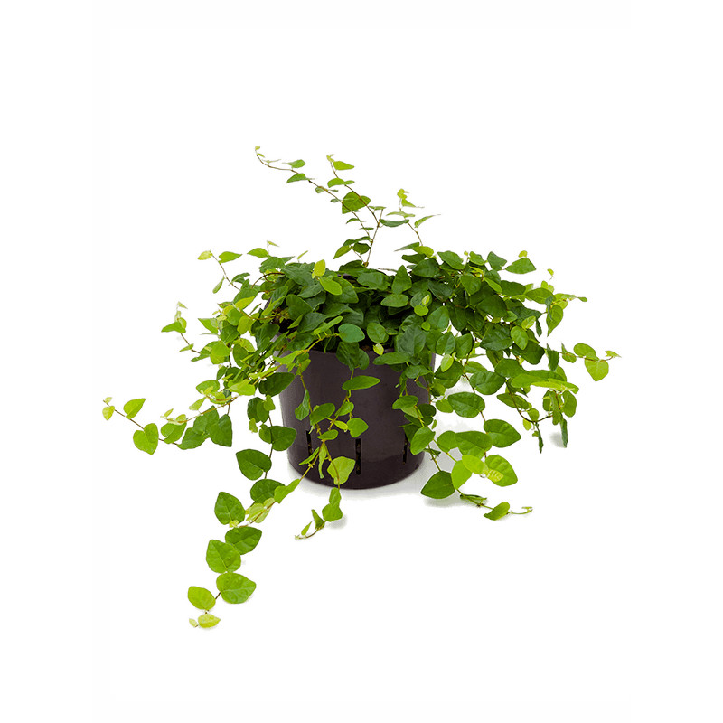 Ficus pumila repens green sunny hanger 13/12 v.20 cm