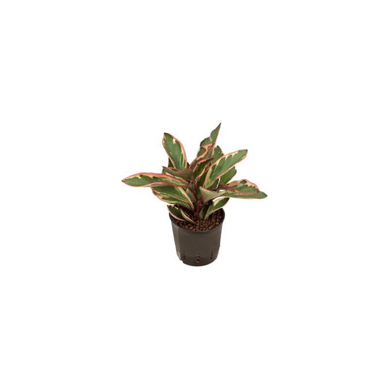 Peperomia clusiifolia jellie 13/12 v.25 cm