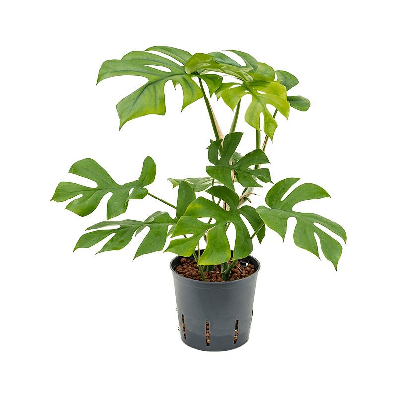 Philodendron minima Hanging plant pots.13/12 v. 25 cm