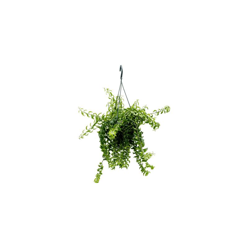 Aeschynanthus Twister 15x30 cm