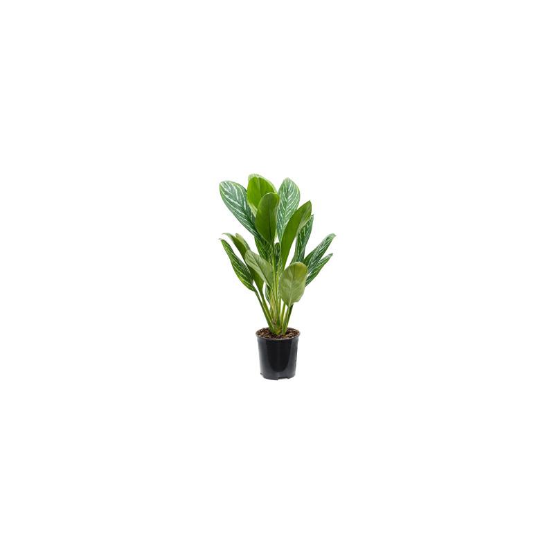 Aglaonema Letizia 19x100 cm