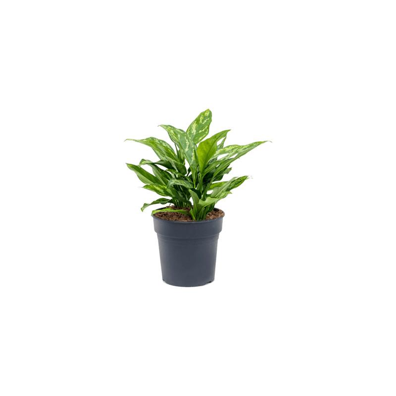 Aglaonema maria 19x40 cm