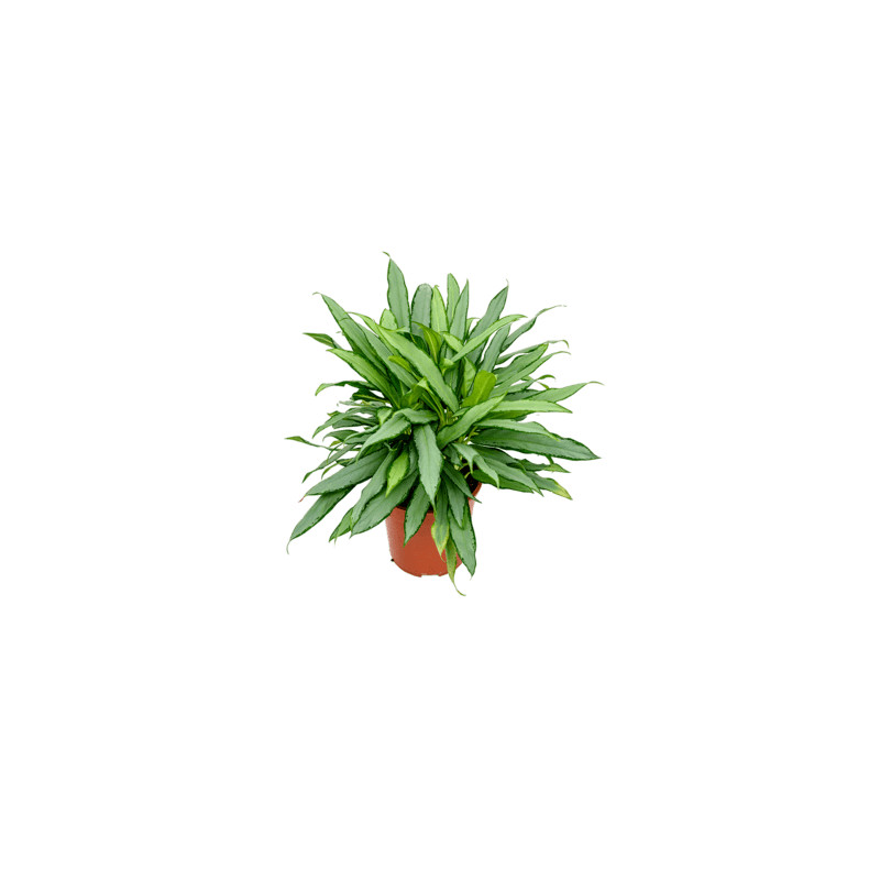 Aglaonema white lance 24x55 cm