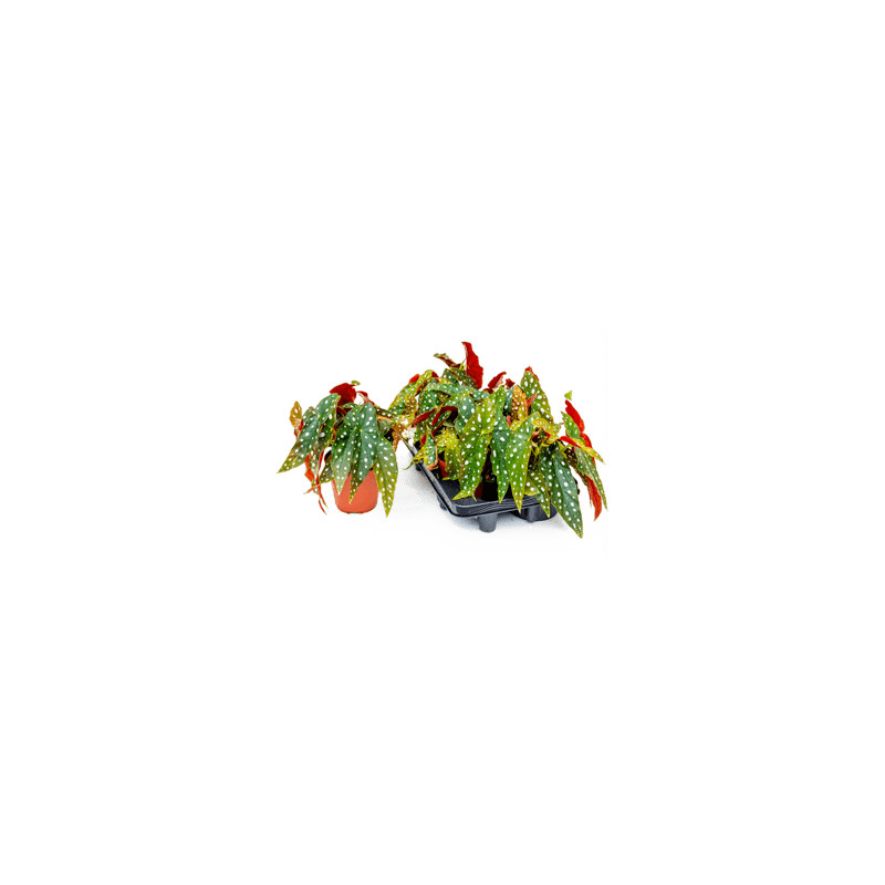 Begonia leaf maculata wightii 12x20 cm