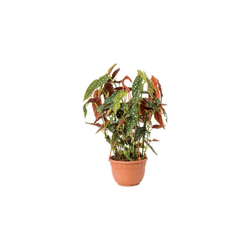 Begonia maculata 22x70 cm