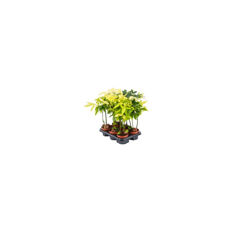 Castanospermum australe variegata pots. 12x45 cm