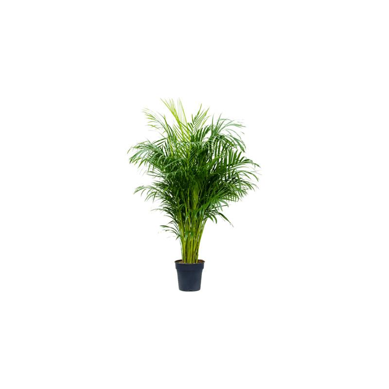 Areca dypsis lutescens 24x130 cm