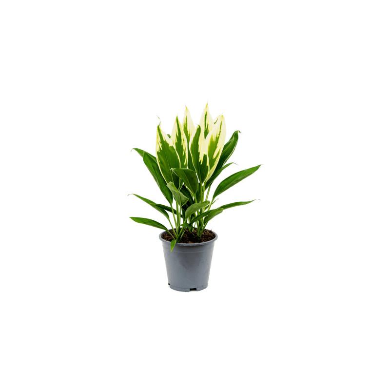 Cordyline fruticosa Conga 19x55 cm