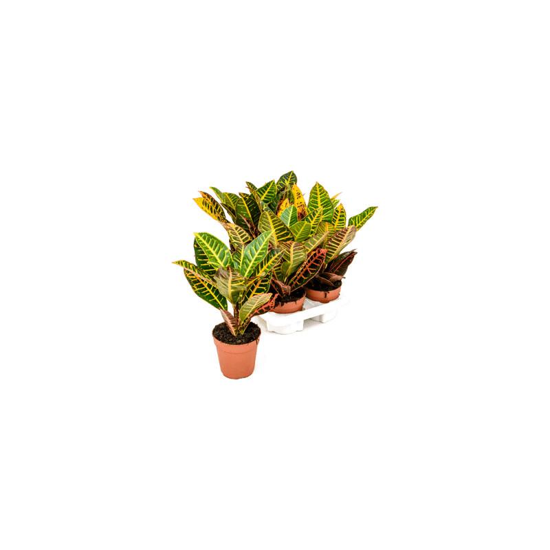 Croton (codiaeum) petra 6/tray - Pots.12/30 cm