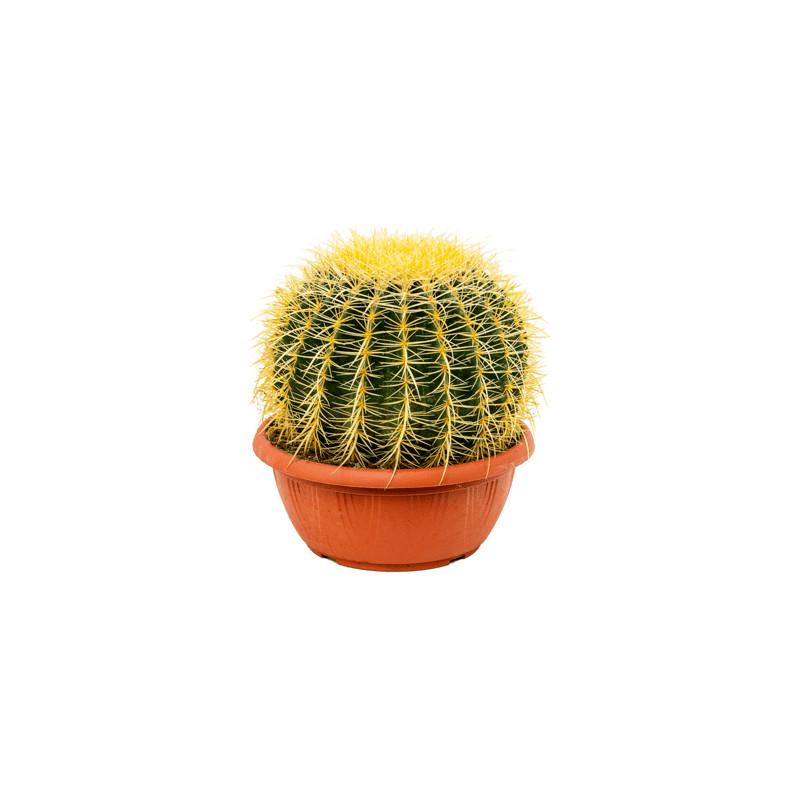 Kaktus - Echinocactus grusonii 25x30 cm