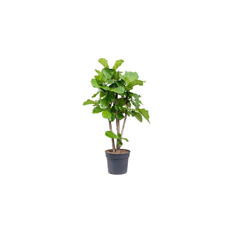 Ficus Lyrata stem branched 38x150 cm