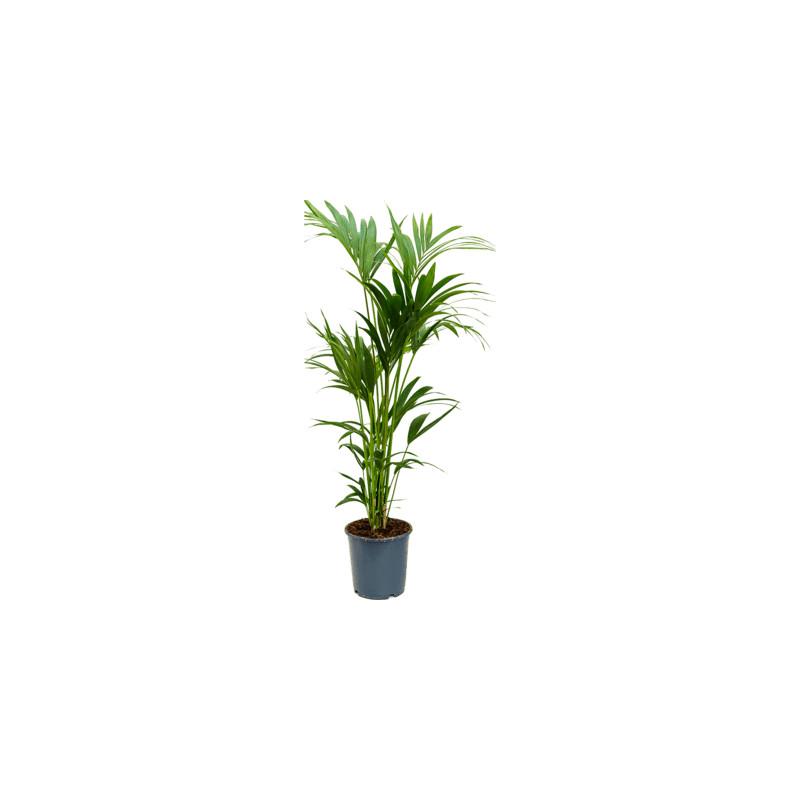 Kentia (Howea) forsteriana Tuft 6pp 24x140 cm