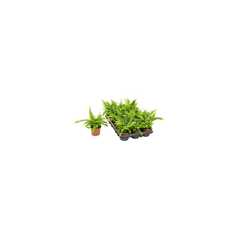 Nephrolepis exaltata Green Moment 12x15 cm
