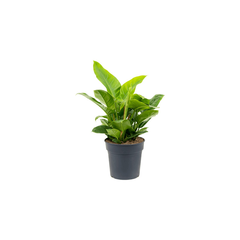 Philodendron imperial green Bush Pots. 35 cm 75cm