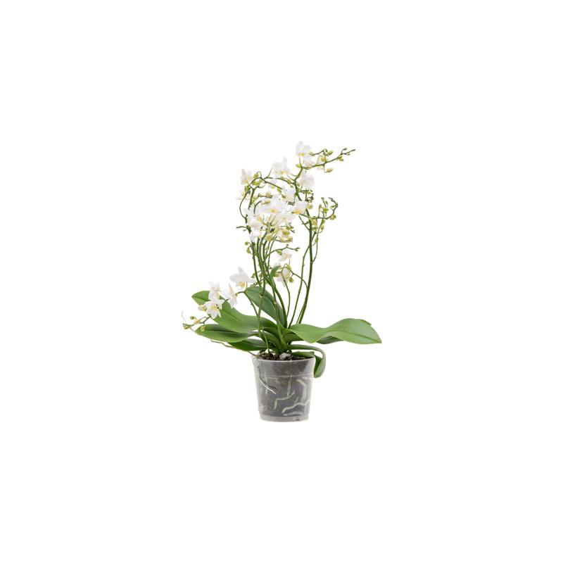 Phalaenopsis orchidea Multi soft cloud 12x45 cm