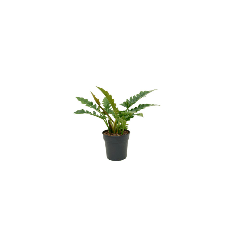 "Philodendron ""Narrow"" bush 21x70 cm"